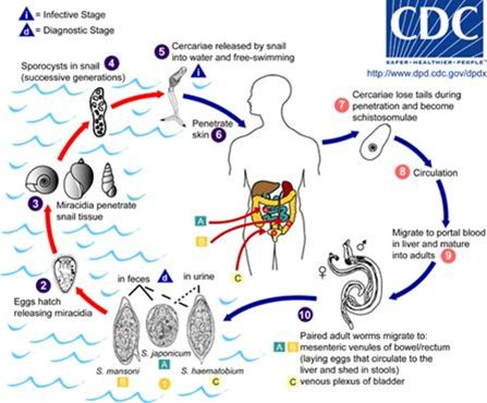 Description: Life cycle of Schistosoma spp.